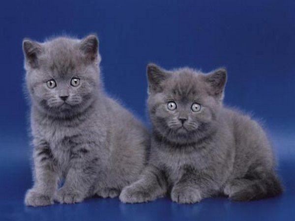 Эксклюзивные кошки британцы