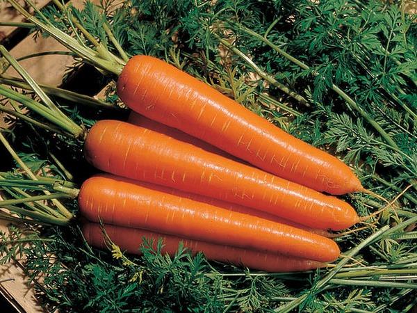 сорта моркови для открытого грунта